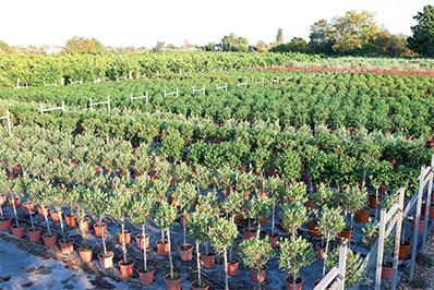 Galano vivers plantas ornamentales frutales citricos for Produccion de plantas ornamentales